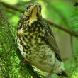 Nestling of fieldfare — Stock Photo