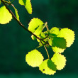 fresh leaves — Stock Photo