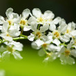 Bird cherry tree — Stock Photo