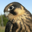 Stock Photo: Birds of Europe and World - hobby falcon
