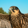 Hobby falcon - Stock Photo