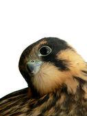 Hobby falcon — Stock Photo