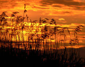 Reeds on the sunset — Stock Photo
