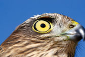 Birds of Europe and World - Sparrow-hawk — Stock Photo
