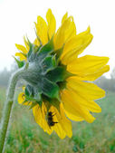 Single sunflower on a field — Stock Photo