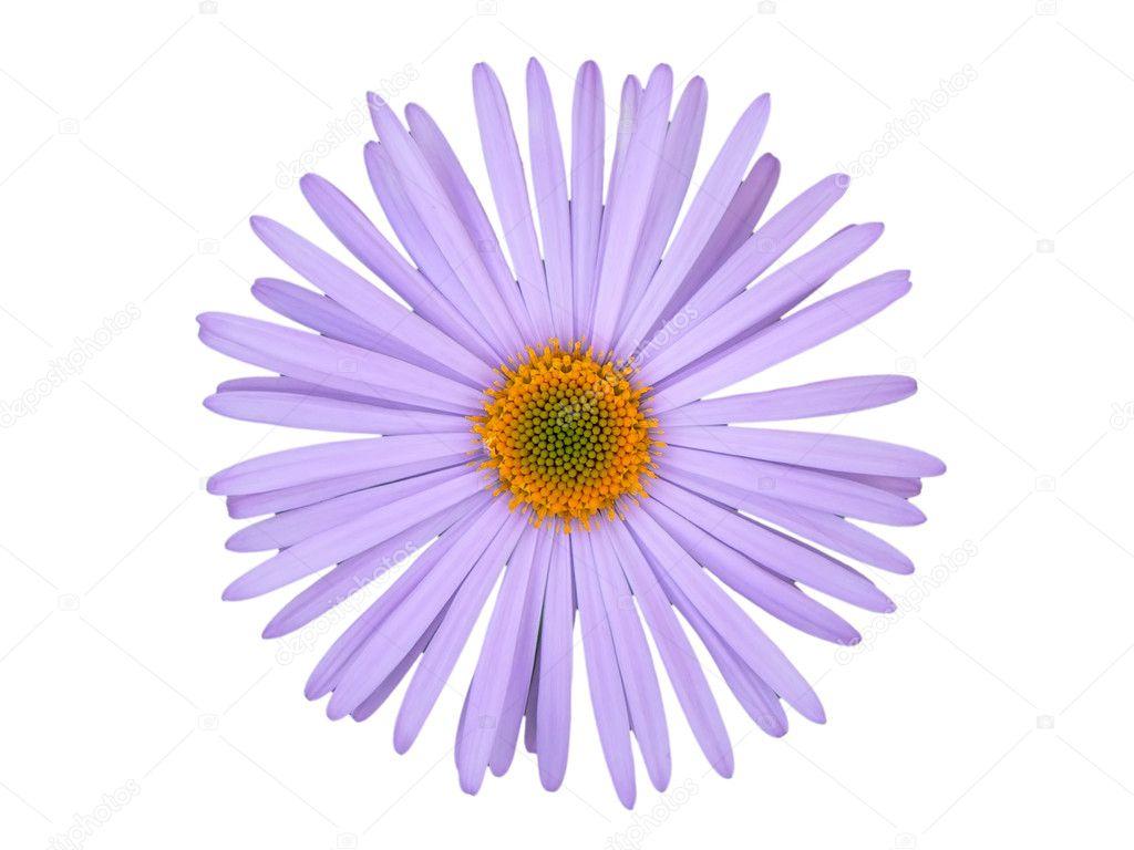 Images Single Flower White Background