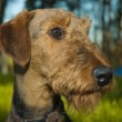 Airedale terrier portrait — Stock Photo