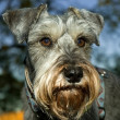 Stock Photo: Miniature schnauzer outdoors