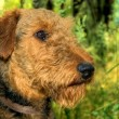 Royalty-Free Stock Photo: Airedale terrier profile portrait