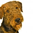 Airedale terrier dog isolated on white — Stock Photo