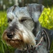 Stock Photo: Miniature schnauzer resting in sunshine