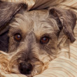Miniature schnauzer bundled in a blanket — Stock Photo