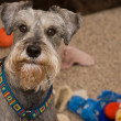 Stock Photo: Playful gray miniature schnauzer dog