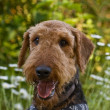 Airedale Terrier dog outdoors in a field of flow — Stock Photo #2037720