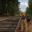 Dog standing next to rail road tracks — Stock Photo #2037757