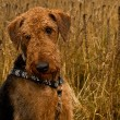 Airedale terrier dog sitting in a wheat field — Stock Photo