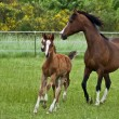 Galloping horse family - Stock Photo