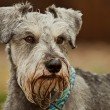 Minature schnauzer dog close up — Stock Photo
