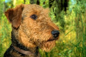 Airedale terrier profile portrait — Stock Photo