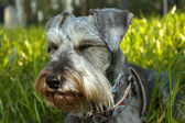 Miniature schnauzer resting in sunshine — Stock Photo