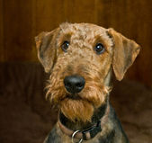 Guilty looking airedale terrier dog — Stock Photo