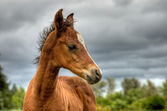 Baby brown bay horse — Stock Photo