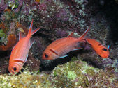 Three dancing fish — Stock Photo