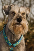 Miniature schnauzer portrait outdoors — Stock Photo