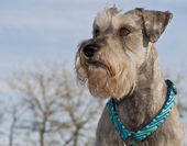 Miniature schnauzer outdoors — Stock Photo