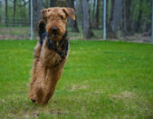 Airedale terrier dog running outdside — Stock Photo