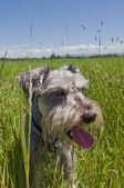 Miniature schnauzer dog panting in a grassy mead — Stock Photo