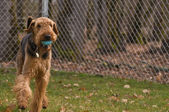 Prancing airedale terrier dog with a ball in his — Stock Photo