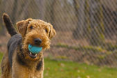 Playful airedale terrier dog with ball in mouth — Stock Photo