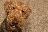 Perro sonriente airdale terrier — Foto de Stock