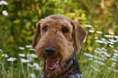 Airedale Terrier dog outdoors in a field of flow — Stock Photo