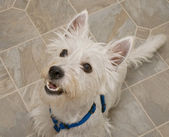 West Highland Terrier Dog Sitting — Stock Photo