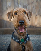 Airedale terrier dog smiling — Stock Photo