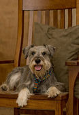 Miniature schnauzer dog on chair — Stock Photo