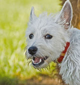 West high land terrier dog outdoors — Stock Photo