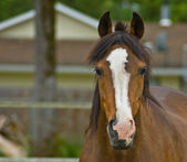 Brown quarter horse close up — Stock Photo