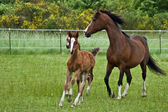 Galloping horse family — Stock Photo