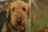 Bad Airedale Terrier Dog — Stock Photo