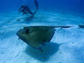 Scuba diver photographing stingray — Stock Photo