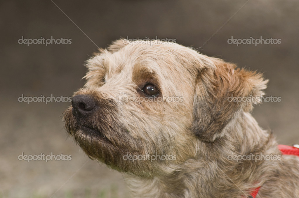 MIXED BREED (RACES DIFFERENTES)/TERRIER D'ECOSSE/Westie & Cairn - m5x