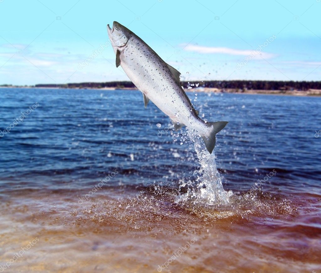 Jumping out from water salmon stock photo witoldkr1 for Fish and trip