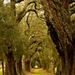 Stock Photo: Oak Tree Avenue