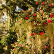 Roses on Spanish Moss — Stock Photo