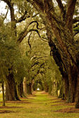 Oak Tree Avenue — Stockfoto