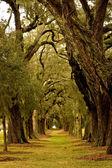 Oak Tree Avenue — Stock Photo