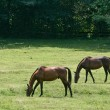 Two Horses Eating Grass — Stockfoto